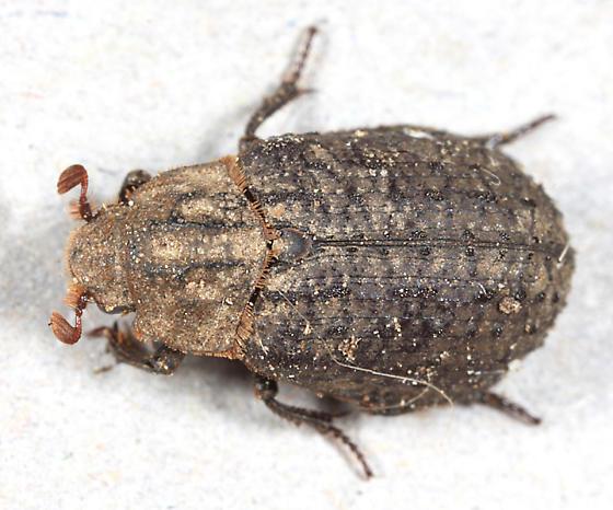 Hide Beetle - Trox capillaris