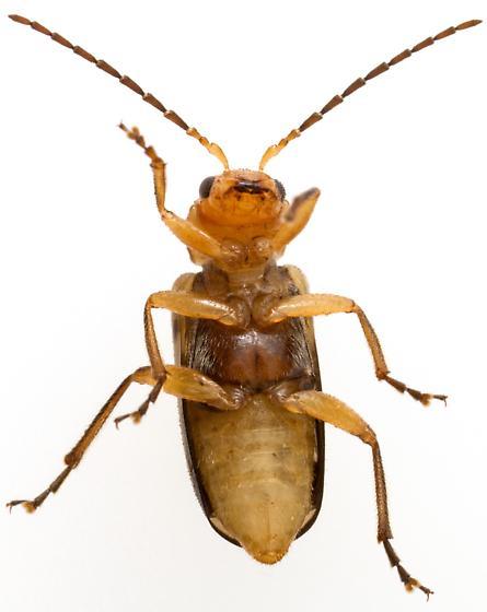 Female, Triarius trivittatus? - Triarius trivittatus