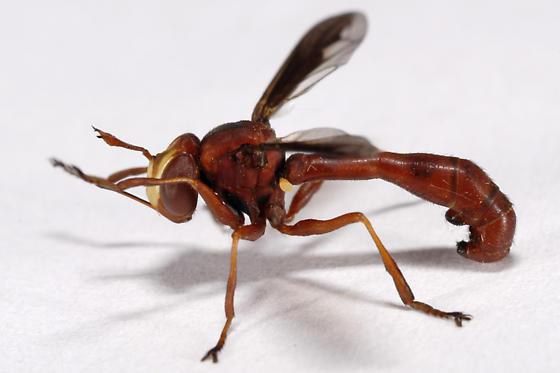 Conopid of some kind ? - Physocephala burgessi - female