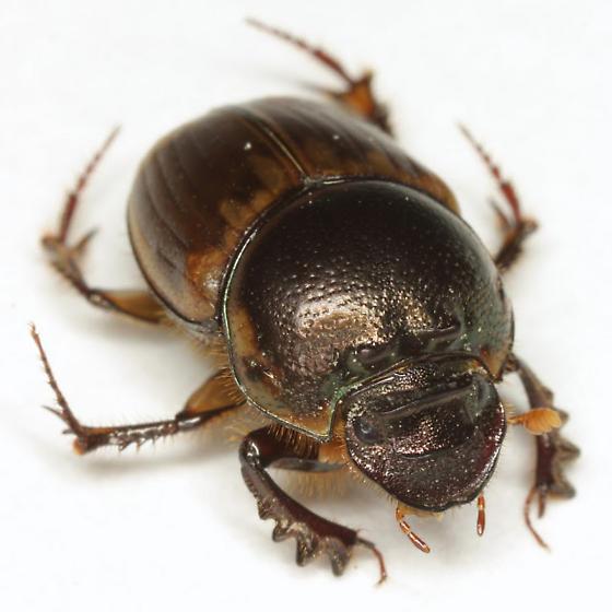 Digitonthophagus gazella (Fabricius) - Digitonthophagus gazella - female
