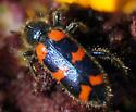 chrysomelidae? - Trichodes nuttalli