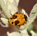 leaf beetle - Hippodamia convergens