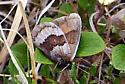 Banded Alpine - Erebia fasciata