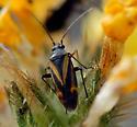 Plant Bug (Family:Miridae?) - Plagiognathus moerens
