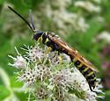 Unidentified hymenopteran - Myzinum quinquecinctum - male