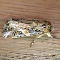 Fall Armyworm (Spodoptera frugiperda)  - Spodoptera frugiperda