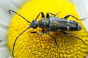 Beetle - Brachyleptura vexatrix