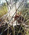 brown spider with black and white dorsal stripe - Pisaurina brevipes