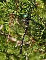 Dragonfly id please? - Macromia taeniolata