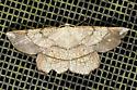 Euchlaena amoenaria