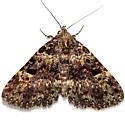 Moth - Metalectra quadrisignata
