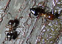 small ants - Crematogaster cerasi