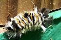 Tiger moth caterpillar - Euchaetes bolteri