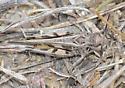Finned Grasshopper, individual 2 - Trachyrhachys aspera