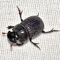Dung Beetle - Copris fricator