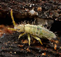 Collembola - Entomobrya unostrigata