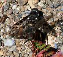 Flies - male - female
