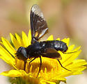 Another black bee fly - male