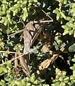 Mantis and mate - Mantis religiosa - male - female