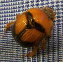 Dung Beetle? - Bolbocerosoma bruneri