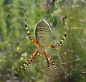 Unknown Spider - Argiope trifasciata