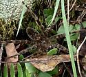 Spider type? - Dolomedes
