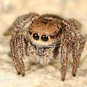 jumping spider - Habronattus