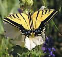 Two-tailed Swallowtail - Papilio multicaudatus - Papilio multicaudata - male