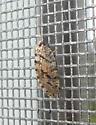 Hemerobius humulinus - Megalomus