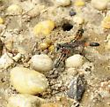 Ichneumon Wasp with caterpillar - Ammophila procera