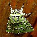 Green Moth  maybe Feralia deceptiva - Feralia deceptiva