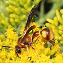 potter wasp - Eumenes bollii - male