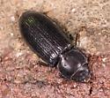 Small Black Beetle for ID - Tenebroides americanus