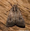 Moth - Caradrina beta