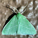 Synchlora? maybe S. bistriaria - Synchlora - male