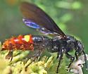 Wasp - Scolia dubia - female