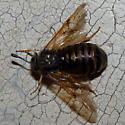 Honeysuckle sawfly? - Abia