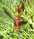 Thick-headed Fly - Physocephala burgessi