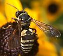 White wasp on Black-eyed Susan - Triepeolus lunatus