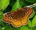 Great-Spangled Fritillary - Speyeria cybele - male