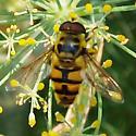 Hover Fly - Myathropa florea