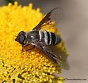 Bee Fly - Chrysanthrax dispar