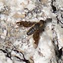 Mountain bee fly - Hemipenthes sinuosa