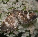 Moth - Trichodezia californiata