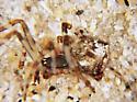 Lateral view - Cryptachaea porteri - female