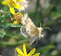 Golden Aster Flower Moth - Schinia tuberculum