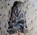 Flower Moth - Schinia acutilinea