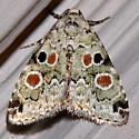 9050 – Maliattha concinnimacula – Red-spotted Lithacodia Moth - Maliattha concinnimacula