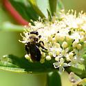 Subgenus Melandrena ? - Andrena