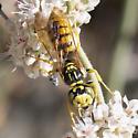Philanthus crabroniformis - male